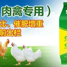 鸡吃什么长的快肉鸡过料怎么办肉鸡后期如何催肥图片