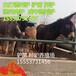 德州驴多少钱驴苗价格山东肉驴养殖种场肉驴驴苗育肥肉驴价格德州驴