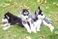 出售哈士奇幼犬超酷三火蓝眼健康品质保证店面