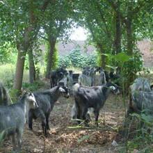 出售青山羊青山羊養殖及優質羊種養殖圖片