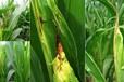 防治玉米大斑病特效药专治玉米大斑病杀菌剂玉米杀菌剂厂家苞米防治真细菌病害方法