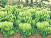 施达优植物生长调节剂调节剂99磷酸二氢钾植物专用调节剂磷酸二氢钾水溶肥