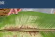 白飞虱特效药杀虫剂专杀白飞虱特效药蓟马专用杀虫剂抗性蓟马特效农药