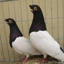 北京观赏鸽品种价格技术