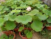 我基地常年供应荷花苗荷花种苗品种多荷花苗价格低是荷花苗种植的首选