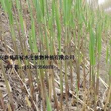供应湿地芦苇种植技术湿地绿化芦苇苗种植公司