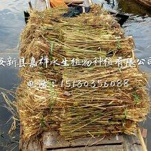 护坡芦苇苗种植技术--专业芦苇种苗种植公司