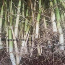 供应湿地绿化芦苇种植--白洋淀专业芦苇种苗种植公司