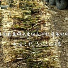 供应湿地芦苇种植技术绿化工程芦苇苗种植景观芦苇苗种植公司