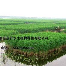 供应山西湿地公园芦苇种植河北芦苇苗批发基地直销价格