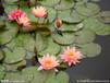 專業睡蓮種植睡蓮苗水生植物批發睡蓮種苗水生植物種苗水生植物