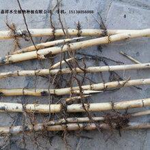 芦苇苗芦苇精品芦苇精品芦苇苗精品芦苇苗价格精品芦苇苗批发