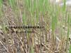 景觀蘆葦苗施工種植濕地蘆葦苗批發價格施工保成活