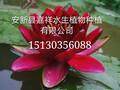 供应江苏荷花种植、江苏芦苇种植、江苏睡莲种植、江苏水生植物种植公司图片