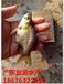 湖南长沙缩骨大头鱼苗2-8公分鱼苗