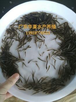 泥鳅鱼苗批发/纯正台湾泥鳅鱼苗批发/广东华夏水产泥鳅养殖