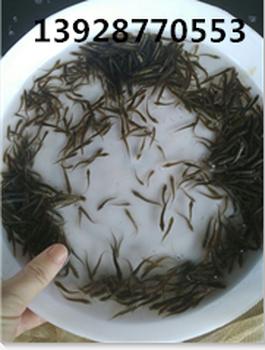 泥鳅鱼苗批发,泥鳅鱼倍投法,广东龙源水产直供