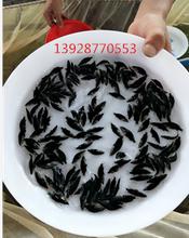 桂花鱼,翘嘴鳜鱼苗运输关键与成活。图片