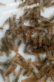 澳洲淡水龙虾苗批发/龙虾苗价格/澳龙种苗供应/大型龙虾苗ag系列产品|官方基地/广州龙源水产