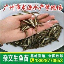 优质生鱼苗批发求购黑鱼养殖前景杂交生鱼苗市场价格生鱼地方名
