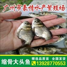 縮骨大頭魚養殖技術,縮骨花鰱苗一畝可以放養多少?廣東仙骨魚苗批發價格圖片