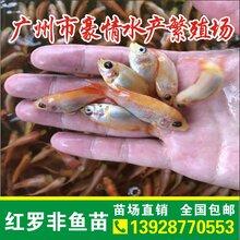 魚苗批發供應俄羅斯金草魚苗純種紅羅非魚苗紅色草魚苗羅非魚漁場直銷圖片