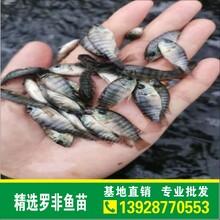 供應優質寶路羅非魚苗新吉富羅非苗奧尼羅非魚苗品種齊全快大易養效益好圖片