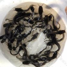 正宗三黃塘鲺魚苗養殖本地土塘鲺魚苗供應豪情胡子鯰魚苗報價圖片