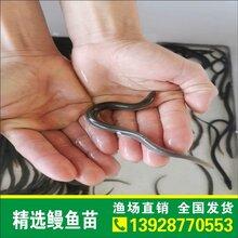 正宗鳗鱼苗种出售日本鳗鱼鱼苗白鳝鱼苗花鳝鱼苗鳗鱼苗批发图片