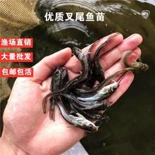 全國鮰魚苗養殖基地斑點叉尾鮰魚苗供應商叉尾魚苗批發價格圖片