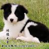 纯种高品质边牧幼犬出售疫苗驱虫保证健康可签