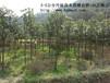 湖南丹桂,湖南精品桂花树米径8cm-15cm的现货10万棵