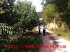 5000棵移栽杨梅树,湖南移栽杨梅以最低湖南杨梅价格销售批发