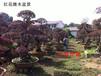 規格其全隨意選購湖南紅花繼木盆景-瀏陽紅花繼木樹樁特價銷售