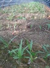 云南白芨种植昆明白芨种苗云南白芨种植技术白芨种苗价格云泽农业科技