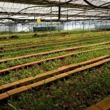 昆明白芨种植技术云南白芨种苗白芨种植技术方法云泽农业科技