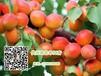 河北保定串紅杏供應量大質優產地直供