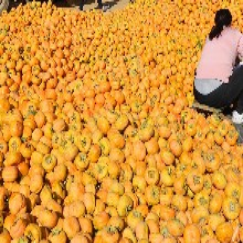 河北保定哪里有磨盘柿柿子沟大量磨盘柿子出售图片