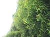 国光苗圃基地正宗龙脑樟树苗量大从优