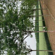 15公分國槐--郯城苗圃大量出售
