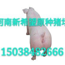 二元种猪价格