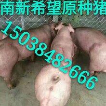 新美系种猪新美系种猪特点什么是新美系种猪