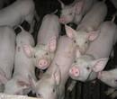 重庆瘦肉型仔猪价格图片