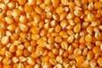 周經理大量收購玉米