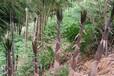 宁德景成园林提供甜竹树苗栽培