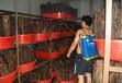 人工金蟬養殖金蟬金蟬養殖金蟬養殖基地金蟬養殖視頻