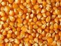 饲料厂江经理大量收购玉米图片