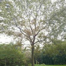 湖北朴树供应原生精品全冠朴树移栽发帽精品朴树图片