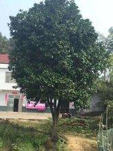 红东园林,工程苗胡柚,15cm胡柚大量供应