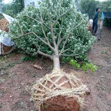 湖北柚子树原生全冠高低分枝精品香橼香泡柚子树